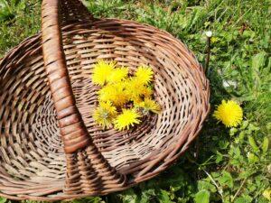 Récolte fleur de pissenlit