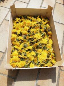 Séchage fleurs de pissenlit - miel de pissenlit